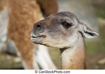 Guanaco lama guanicoe, South American camelid, which live in the high alpine areas of the Andes