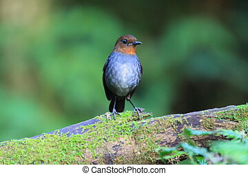 White-browed Shortwing Brachypteryx montana female in Luzon,...