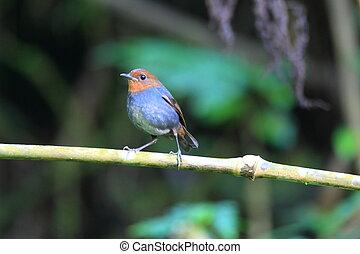 White-browed Shortwing (Brachypteryx montana) female in...