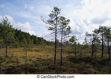 Pines on Bog - Pine Trees on Torronsuo wet bog, Tammela,...