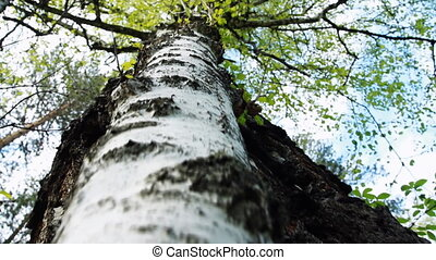 Birch Tree - Green leaves on the background of an Tree...