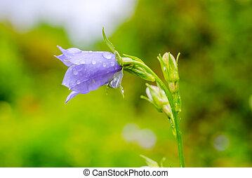 blåklocka, blomma, med, regna, droppar, på, a,...