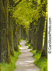 tree alley with small foot path - long tree alley with small...