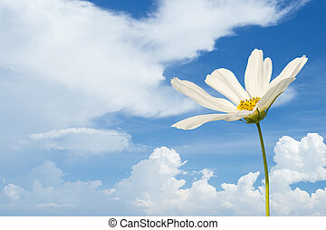 Csulphureus Cav or Sulfur Cosmos, flower and blue sky