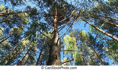 Pine Forest - Moving Pine Trees In Coniferous Forest Slider...
