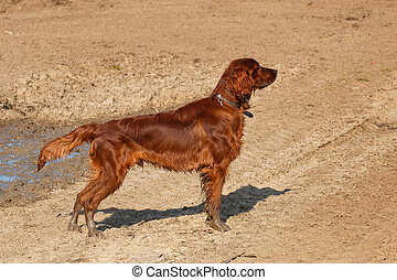 Irish setter - Waiting puppy of irish setter for hunting