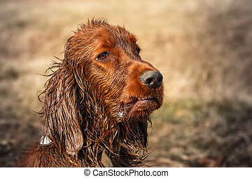 Dirty irish setter - Very dirty and wet puppy of irish...