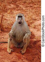 sentando, babuíno