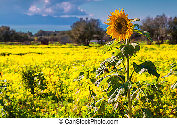 Single sunflower field over field of blossom flowers in the...