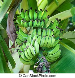 Green Bananas on a Banana Tree - Bananas ripening on a...