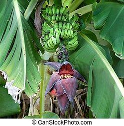 bananes, mûrir, arbre