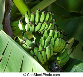 Green Bananas on the Tree - Beautiful ripening green bananas