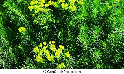 Yellow Flowers of Cypress Spurge Euphorbia Cyparissias -...