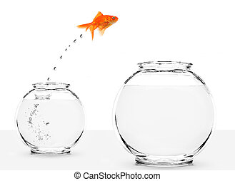 goldfish jumping from small to bigger bowl isolated on white...