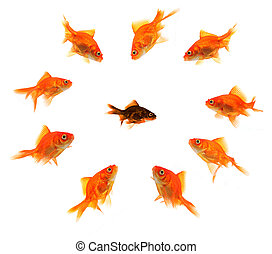 racism - black goldfish surrounded by a bully gang isolated...