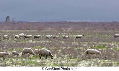 Sheep in Nature Field