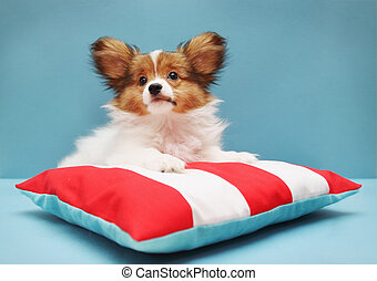 papillon lying - Little puppy dog breed papillon lying on a...