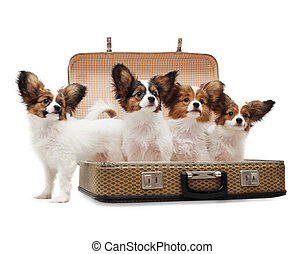 Papillon puppies in the suitcase - Four Papillon puppies in...