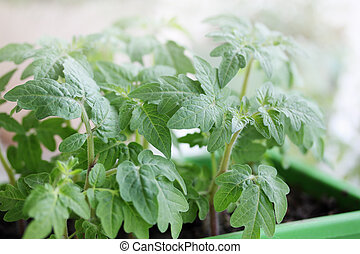 tomato seedlings - Young green tomato seedlings in the green...