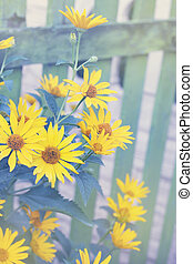 bush Heliopsis - Beautiful yellow flower Heliopsis many...