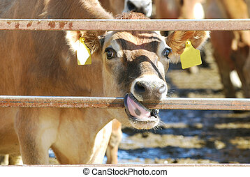 Jersey Cow - Jersey cow with her tongue wrapped around a...