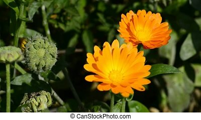 Preparing calendula oil in a mortar, plant in nature and the...