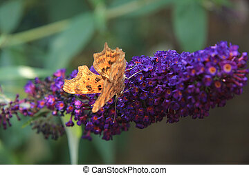 Comma butterfly or Polygonia C Album on summer lilac