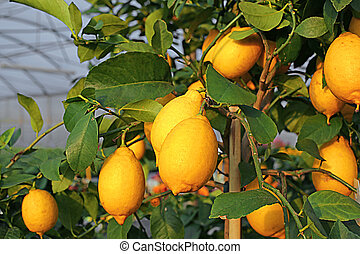 Yellow lemons in the tree of the Orchard of the...