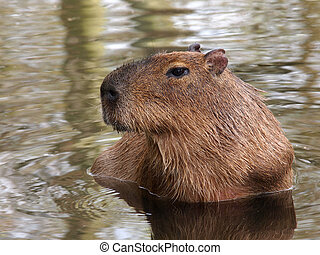 Capybara - A capybara in the water