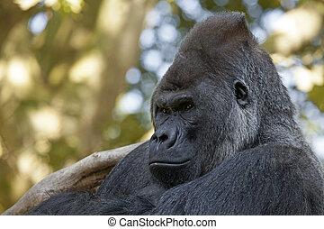 Silverback gorilla - Portrait of a Silverback gorilla
