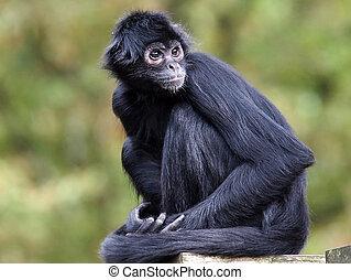 Spider Monkey - A Spider Monkey