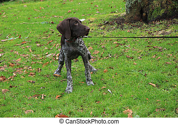 German Shorthaired Pointer - Young German shorthaired...