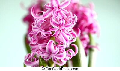 Hyacinthus flower with down tilt to the onion