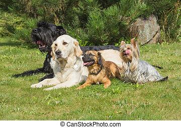 rasen, Gruppe, hunden, Liegen
