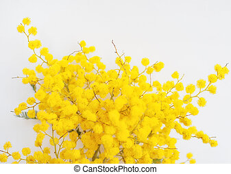 Mimosa flower plant - Yellow Mimosa flowers of Acacia...