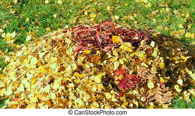 Autumn leaves - The wind blows a bunch of autumn leaves