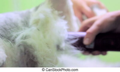 Domestic Cat Grooming - Close-up shot of a domestic cat...