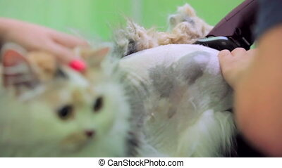 Domestic Cat Shaving. Close-up - Close-up shot of a cute...