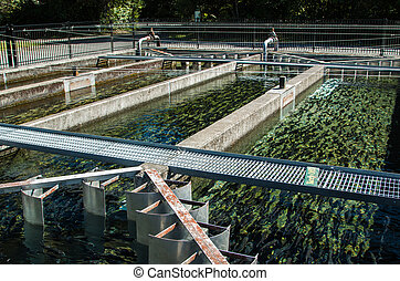 Trout Farm Ponds - Many trout fish in these trout farming...