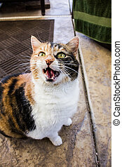 Hissing Calico Cat - An image of a hissing Calico cat