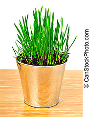 Green wheat grass in the aluminum pot - Green wheat grass in...