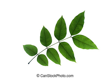 Cassia fistula L, leaf form and texture - leaf form and...