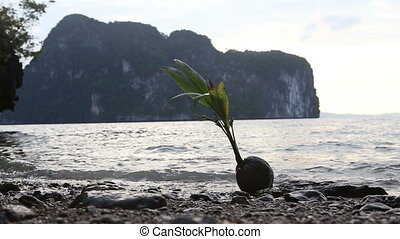 coconut with plant lay on stone  beach