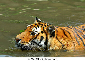 Siberian Tiger in water