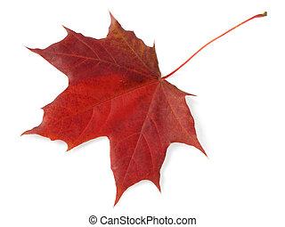 single maple leaf - single maple autumnal leaf on white...