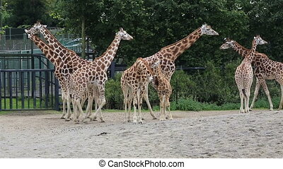 Herd of giraffes with cub Republic of Ireland