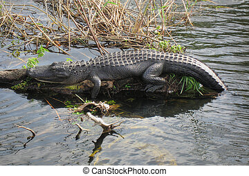 Relaxed Crocodile, Everglades, Florida, January 2007 -...