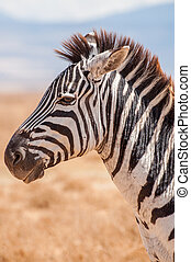 A portrait of a Zebra in the Ngorongoro crater in Tanzania,...