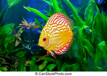 discus fish - tropical discus fish typical fish in the Rio...