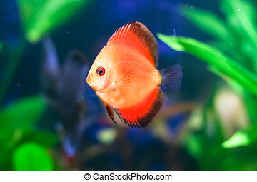 Red Discus fish in tank - A closeup view of a small, Discus...